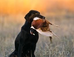 chocolate lab pheasant hunting. Wonderful Chocolate Dogs U003e Labrador Retrievers Black Upland Hunts And Chocolate Lab Pheasant Hunting H