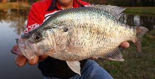 Bass Conversion Chart Crappie Length To Weight Conversion Chart
