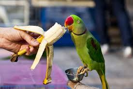 Parrot Diet Chart 10 Tasty And Healthy Treats That Birds Love