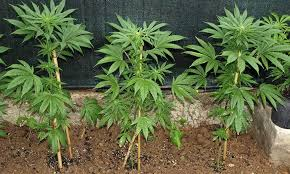 Image result for pictures of growing cannabis steps by step