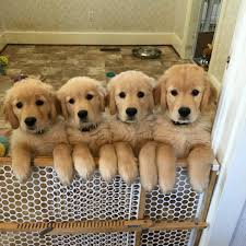 golden retriever newborn puppies. Unique Retriever Amys3goldens With Golden Retriever Newborn Puppies P