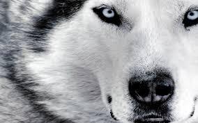 wolf latest hd wallpapers latest hd wallpapers wolf hd png