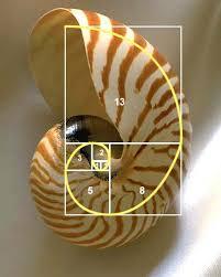 Image result for fibonacci shell