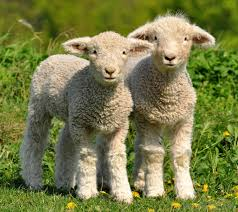 Image result for images of lambs