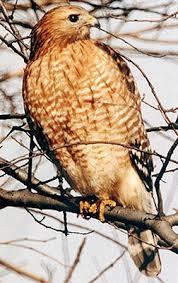 red shouldered hawk mc illinoisraptorcenter org redshoulder