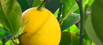 Planting And Caring Tips For Your Avocado Tree  Tropical Florida Fruit Trees For North Florida