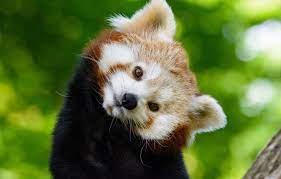 Wallpaper look, muzzle, red panda, Red ...