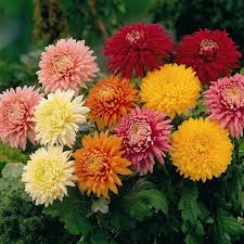 chrysanthemum is native to asia and is the easiest to grow plants and produce more flowers it can plant almost anytime it needs more moisture