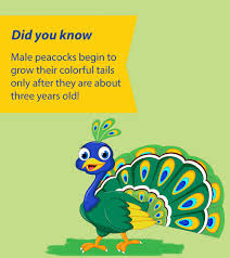 25 Wonderful Peacock Facts And Information For Kids