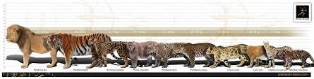 Comparison Of Big Cat Sizes Cats Animals Extinct Animals