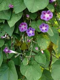 Common Morning Glory, Ipomoea purpurea - Flowers - NatureGate