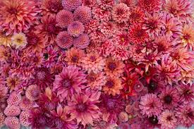 Dahlia Color Palettes Dahlia Garden Flower Farm