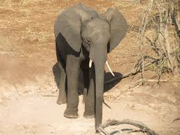 an african elephant photo essay the world wanderer african elephant