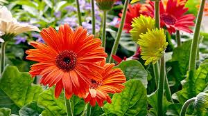 How to grow better <b>gerbera daisies</b>   Garden Gate