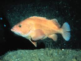 California Rockfish Chart Yelloweye Rockfish Wikipedia
