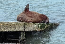 """Gareth Davies Photog on Twitter: """"Our Walrus has now turned up in Tenby  resting & sunning..with a wave.The Walrus is seen on the Lifeboat Station  today *Animal groups asking that people keep"""
