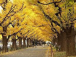 Image result for ginkgo biloba tree