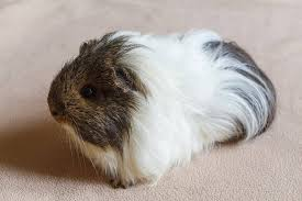 best pads for guinea pigs pocket