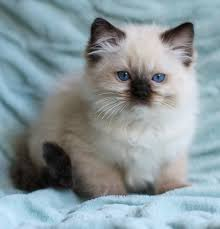 Small Picture pictures of ragdoll kittens At Ravera Ragdolls our ragdoll