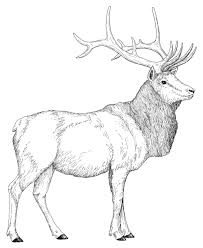 Small Picture Bull Elk Coloring Pages Download And Print For Free Throughout Elk