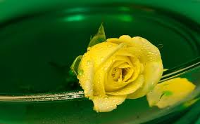 water, Flowers, Water, Drops, Yellow ...