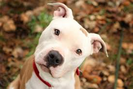 cute pitbull puppies wallpaper. Simple Cute Cute Blue Pitbull Puppies Backgrounds And Wallpaper Hd For  Throughout E