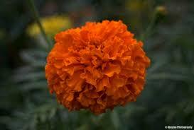 botanical tagetes erecta ajaytao botanical photography tagetes erecta marigold ajaytao