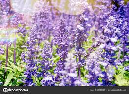 natural flower background amazing nature view of purple flowers blooming in garden under sunlight at
