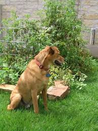 keeping dog out of garden tanner dog