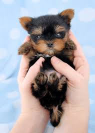 cute puppies for sale. Unique Sale Beautiful Micro Teacup Yorkie Puppies For Sale Intended Cute A
