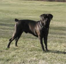Cane Corso Coalition Ear Cropping For My Dog My Friend
