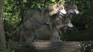 gray wolf pack in forest. Brilliant Forest To Gray Wolf Pack In Forest E