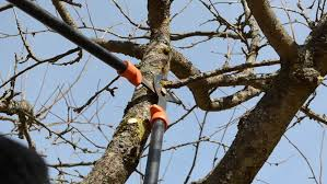 Fruit Tree Cut Trim Prune With Two Handle Clippers Scissors In Pruning Fruit Trees Video