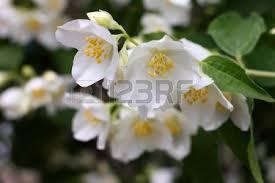 beautiful flowerses jasmine as part garden plants stock photo 22592807