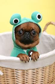 pug in taco costume. Perfect Taco Froggie Pug To In Taco Costume L