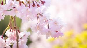 「2018 桜 開花予想」の画像検索結果