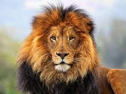 Lion - wallpaper.