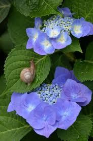 「紫陽花とカタツムリ」の画像検索結果