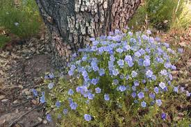 Blue Flax, Linum Narbonense