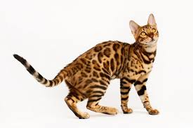 When Do Bengal Cats Stop Growing Cats For Breeding