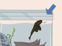 how to feed a pleco