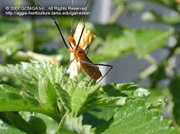 milkweed assassin bugs have very long antennae and legs note the defensive posture towards the and photographer