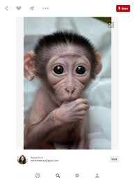 this baby monkey has a very heart shaped face despite the s youth it has wrinkles it would be cool to incorporate age makeup into this