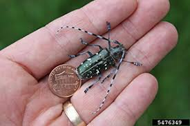 Asian Longhorned Beetle Alb Nys Dept Of Environmental Conservation
