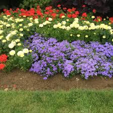 pack bedding plants ageratum champion blue