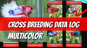 Betta Genetics Chart Data Log Betta Multicolor Cross Breeding