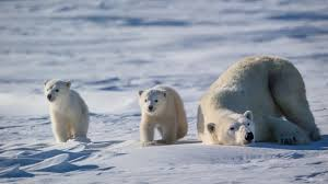 Polar Bears Reluctant to Abandon Dens - Polar Bears International