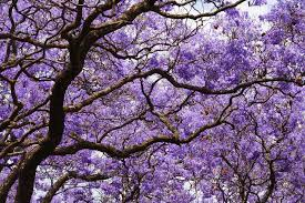 Jacaranda Afrikaans Top 20 Chart Jacaranda Tree Care And Growing Guide