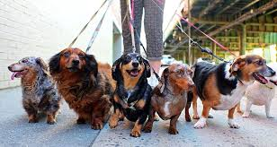Image result for people walking pets