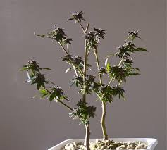 how you give your favorite plants an almost immortal life big buds